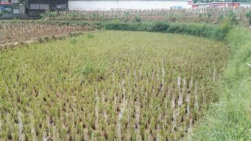 河池都安阳安村 0.7亩 水田 转让