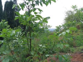 自贡富顺县 300亩 灌木林地 转让