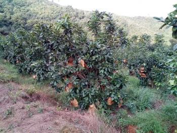 漳州南靖县 22亩 果园 出租