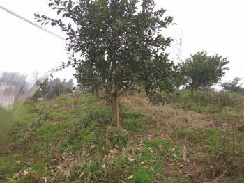 自贡富顺县55亩耙耙柑果园转让