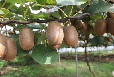 猕猴桃园套种什么作物好 猕猴桃林下适宜套种的作物有哪些?