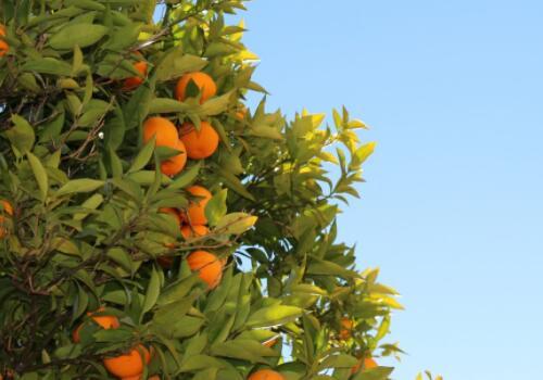 2018柑橘收购价格如何?柑橘采后的贮藏与保鲜方法(附市场行情分析)