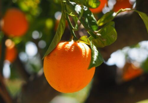 目前柑橘樹苗價格多少錢一棵?柑橘的栽培技術與六點注意事項