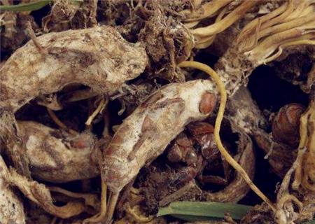 金蝉花价格大概多少钱一斤?主要有哪些功效?金蝉花的种植方法
