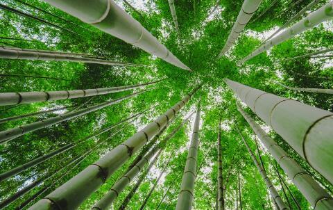 竹子什么时候种植最好?竹子加工成什么最挣钱?