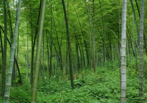 毛竹在北方可以种植吗?怎么种?毛竹的种植方法