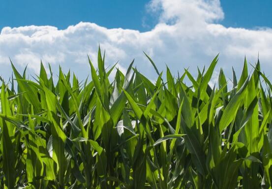 春玉米播种在即!2018年玉米播种时的注意事项有哪些?