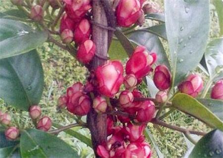 黑老虎(布福娜)开发价值 黑老虎水果种植技术