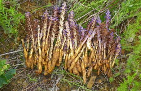 草苁蓉长什么样?草苁蓉它有什么功效作用?