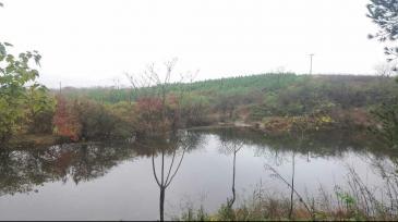 滁州明光市969亩林地转让,林木茂盛