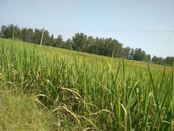 滁州定远县有平坦标准规范1100亩水稻田出租